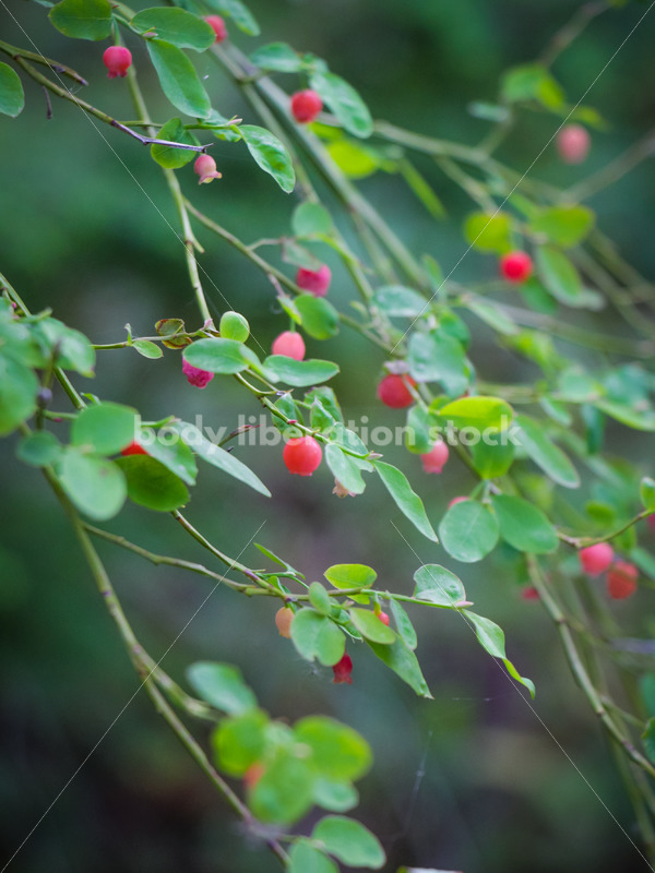 Foraging Stock Image: Ripe Red Huckleberries - Body Liberation Photos