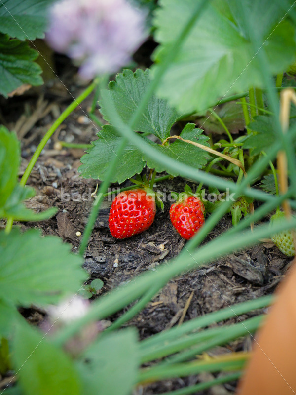 Intuitive Eating Stock Image: Ripe Strawberries - Body Liberation Photos