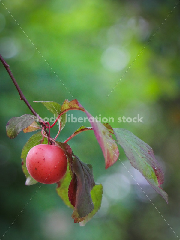 Intuitive Eating Stock Photo: Ripe Plums on Tree - Body Liberation Photos