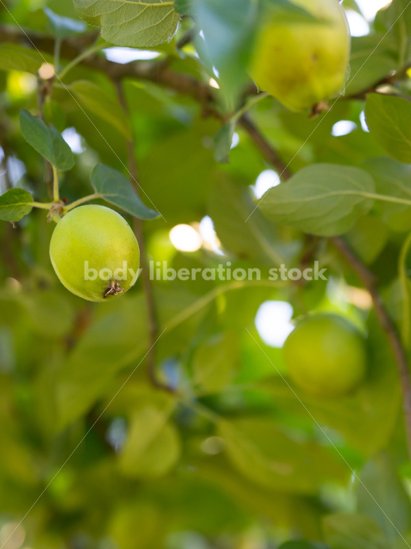 Stock Photo: Green Apples on Tree - Body Liberation Photos