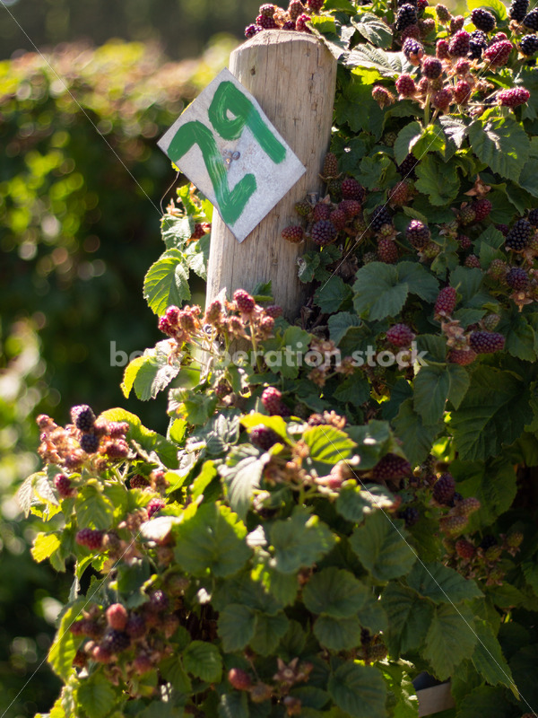 Agriculture Stock Image: Berry Farm - Body Liberation Photos
