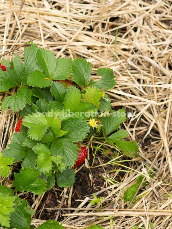 Gardening Stock Photo: Ripe Red Strawberries - Body Liberation Photos