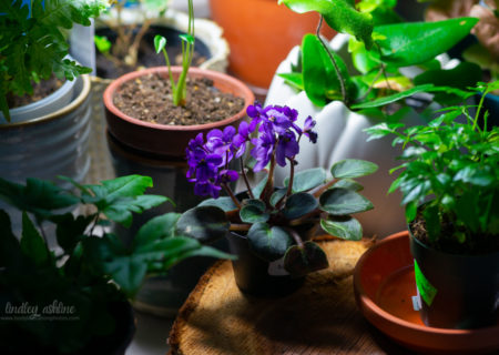 Dark purple African violets bloom, surrounded by other houseplants from Seattle plant stores and nurseries.
